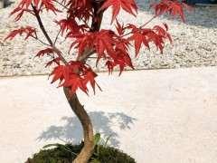 为什么红枫下山桩变绿叶时 把叶子剪