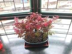 为什么红枫下山桩两年了 还是绿叶 图片