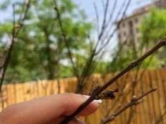红枫下山桩不长叶子是怎么回事 图片