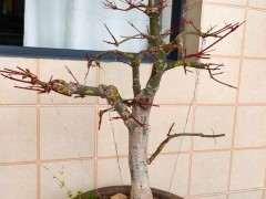 红枫下山桩摘叶15天 怎么样 图片