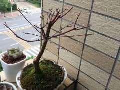 为什么红枫下山桩不长叶子 图片
