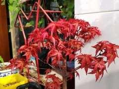 红枫下山桩几天一浇水 用不用换盆