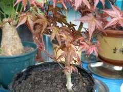红枫下山桩洗根上盆后怎么管理 图片