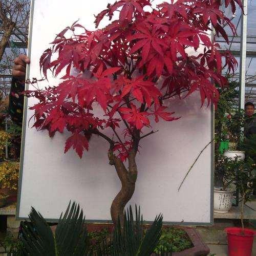日本红枫下山桩为什么不发芽 图片