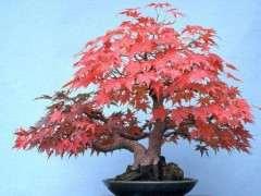 红枫下山桩合适两广种植吗 图片