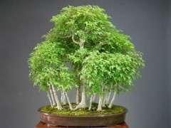 红枫下山桩黄枫能室内种植吗 图片