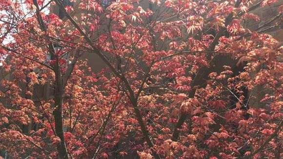 日本红枫下山桩吗 为啥叶子颜色不红 图片