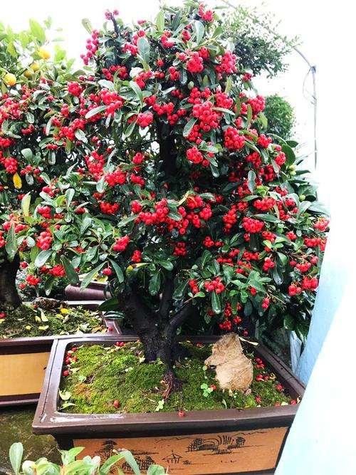 哪里有卖红枫下山桩树的 去省道边挖几颗