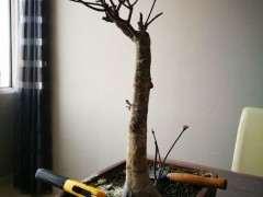 一棵矮霸红枫下山桩怎么形成的 图片
