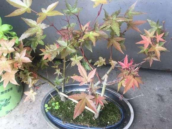 这是鸡爪槭 还是红枫下山桩 图片
