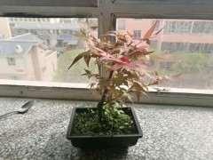 红枫下山桩是怎么回事 叶子发黑了 图片