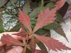 红枫下山桩什么原因导致的 新叶畸形