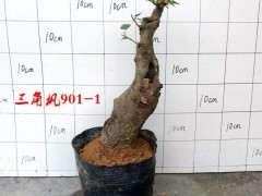 红枫下山桩小苗能耐住夏天的高温吗