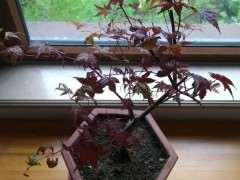 红枫下山桩养不好 叶子收缩发黑 怎么办 图片