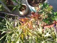 红枫下山桩叶子是怎么回事 图片