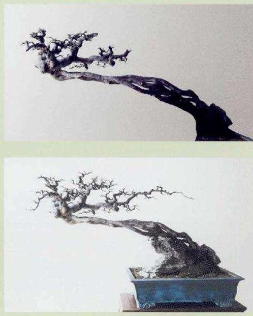 图解 雀梅盆景19年创作成型过程