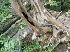 紫薇下山桩树干空心了怎么回事 图片