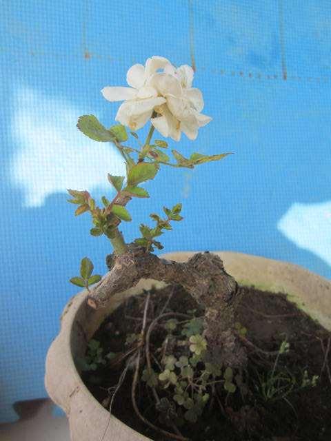 多年盆栽造型白月季盆景 40元 图片