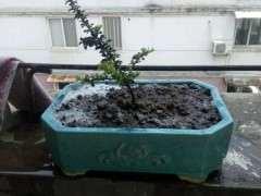长寿梅下山桩怎么换盆生长的方法 图片