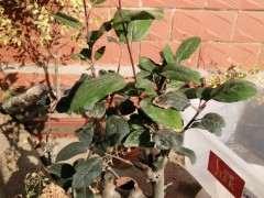 为什么长寿梅下山桩叶子还不落 图片
