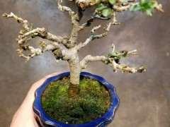 长寿梅下山桩怎么洗根换土的方法 图片