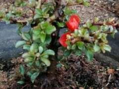 长寿梅下山桩有那么深红吗 怎么样 图片