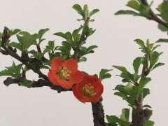 长寿梅下山桩用什么土种植最好 图片