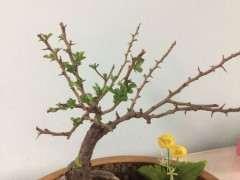 长寿梅下山桩叶子掉光后 怎么办 图片