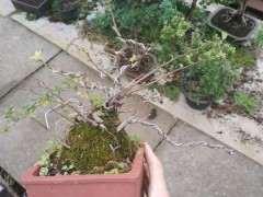 长寿梅下山桩水少掉叶吗 怎么办 图片