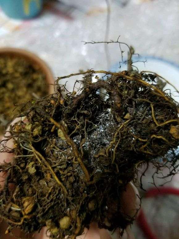 长寿梅下山桩怎么洗根 泡多菌灵 图片