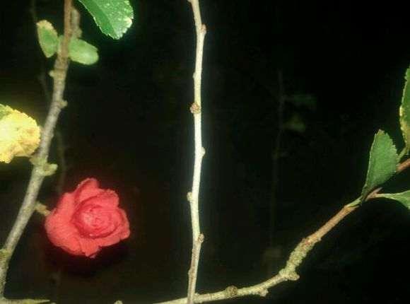 长寿梅下山桩的杂交品种 怎么样 图片
