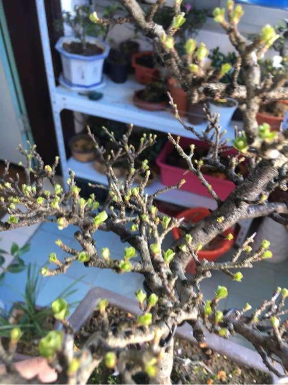 长寿梅下山桩发芽 来花苞了 图片