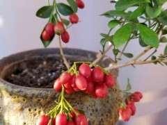九里香下山桩种子怎么繁殖 图片