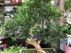 九里香下山桩树干怎么变光滑的方法 图片