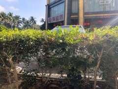 九里香下山桩分大叶和小叶的方法 图片