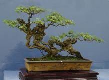 重庆小叶榕盆景树 生意好