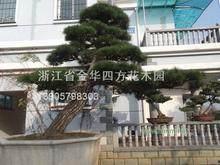 考察浙江盆景园