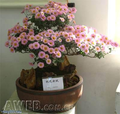 菊花常见虫害的防治