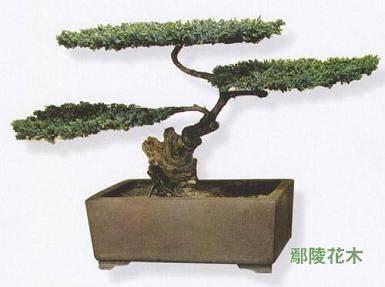 冬季温室树桩盆景的养护