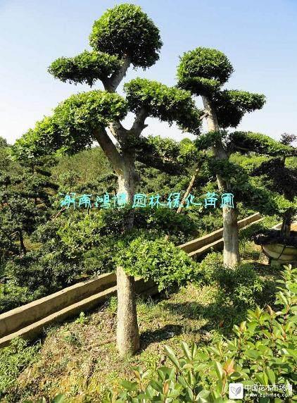 榆树盆景常见食叶害虫的综合防治