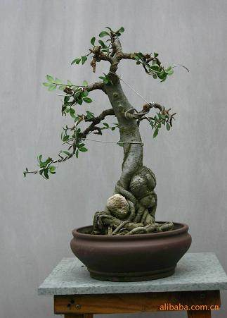 榆树盆景的繁殖培育与常见虫害