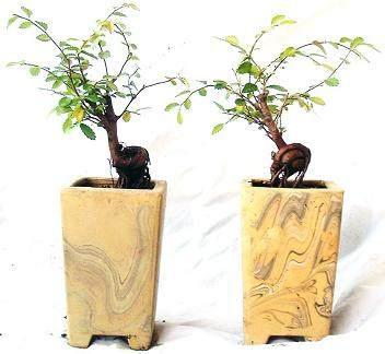榆树盆景的常见病害防治方法 图片