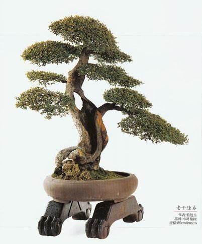 榆树盆景怎么修剪与造型的方法