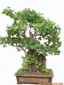 盆景杏树怎么速成栽培技术