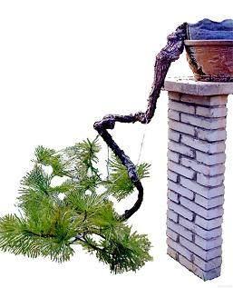 罗汉松老桩盆景枝扦插速成桩