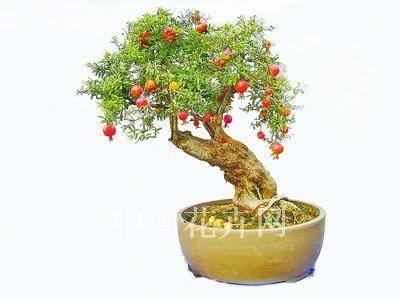 小型观果盆景怎么快速成型的技术