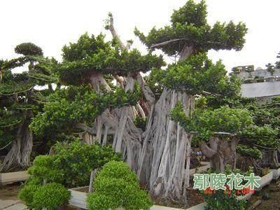 秋季前后对榕树老桩盆景的再修剪