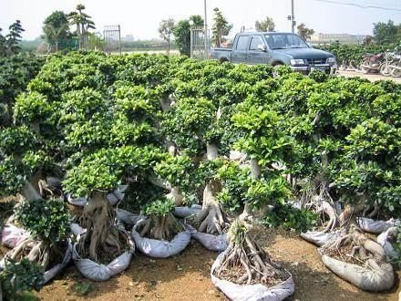 冬季榕树盆景怎么养护管理的方法