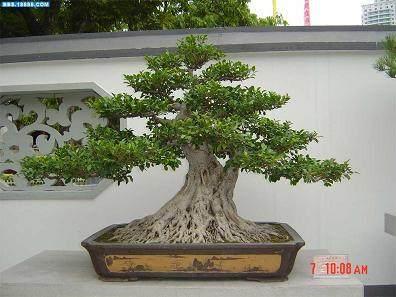 怎么制作榕树盆景的3个经验