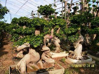 榕树盆景怎么栽培与养护的方法 图片